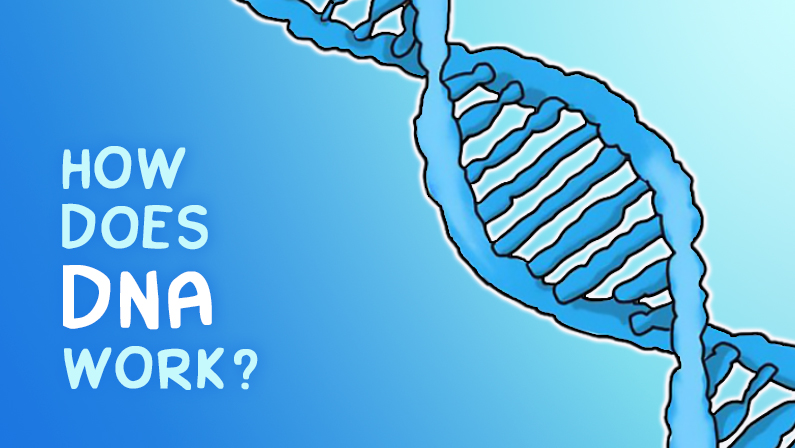 How Does DNA Work?